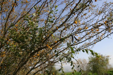 ענפי הרנוג בעלי עלים ירוקים כהים ודמויי ביצה נטפלים על ענפי שיטת המשוכות הנושאת תפרחות כדוריות.