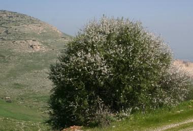 שיחים או נדירות עצים הגדלים באשדות המזרחיים של הרי-יהודה, השומרון, הגלבוע והגליל.