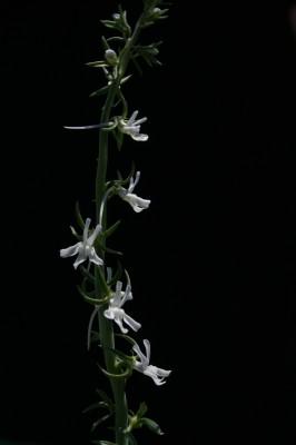 פשתנית ארם-צובא Linaria chalepensis (L.) Mill.