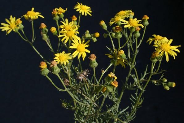 סביון הערבות Senecio glaucus subsp. coronopifolius (Maire) C. Alexander L.