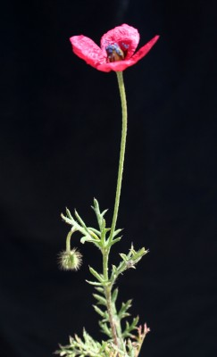 Papaver hybridum L.