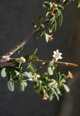 אטד רב-פרחים Lycium depressum Stocks