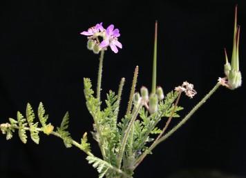 העלים מחולקים-מנוצים פעמיים; האונות מסדר שני שסועות גם הן או משוננות. צמחי מדבר.
