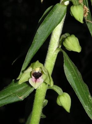 בן-חורש רחב-עלים Epipactis helleborine (L.) Crantz