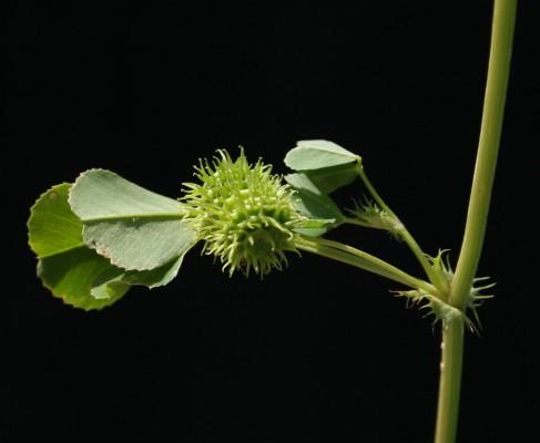 אספסת מצויה Medicago polymorpha L.