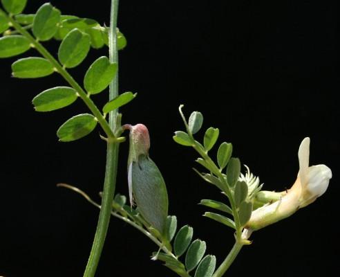 בקיית המשי Vicia sericocarpa Fenzl