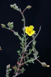 צבע הכותרת צהוב-לימון; קוטר הכותרת הפתוחה 15-10 מ