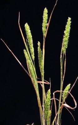 דגנין קהה Rostraria obtusiflora (Boiss.) Holub