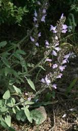 טרפי העלים שמתחת לתפרחת פשוטים, אך בחלק הגדול של הצמח בעלי 2-1(-4) אונות או עלעלים בבסיסם.