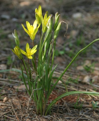 זהבית דמשקאית Gagea chlorantha (M.Bieb.) Schult. & Schult.f.