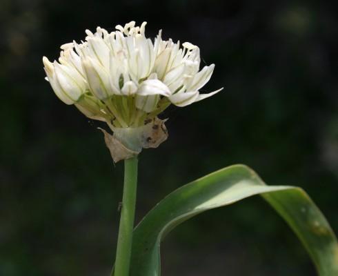 שום מזרחי Allium israeliticum Fragman & R.M.Fritsch