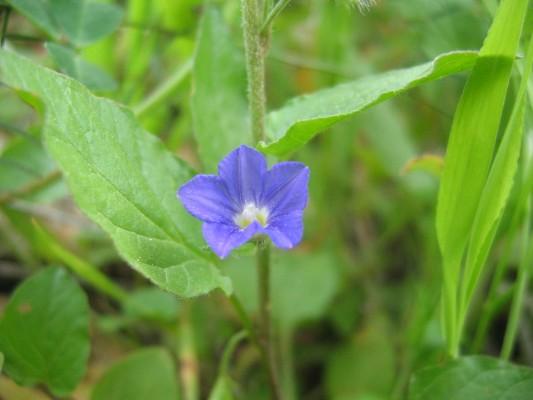 Convolvulus siculus L.