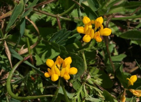 כתרון זעיר-פרח Securigera parviflora (Desv.) Lassen