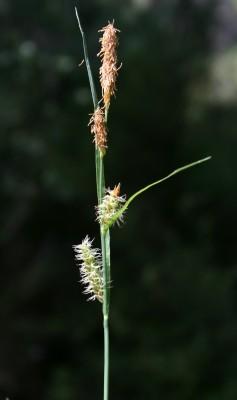 כריך אפרפר Carex flacca Schreb.