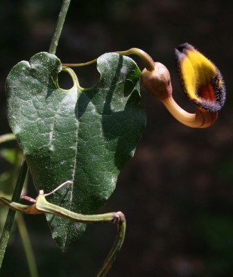 Aristolochia sempervirens L.