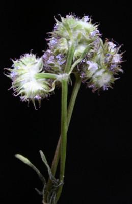 ולריינית עטורה Valerianella coronata (L.) DC.
