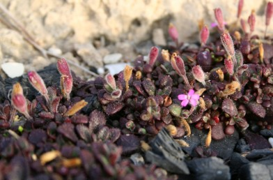 צמחים זקופים, גובהם 10-5 ס
