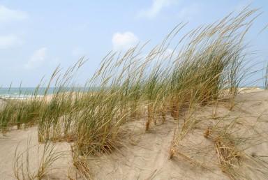 עשב רב-שנתי בעל קנה-שורש זוחל בחולות נודדים של חוף הים-התיכון. התפרחת מכבד צפוף דמוי שיבולת.