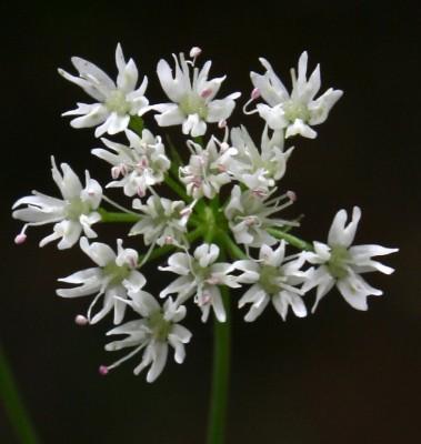 פקעון נאה Bunium paucifolium DC.