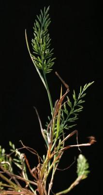 סיסן אשון Catapodium rigidum (L.) C.E.Hubb.