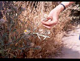 דרדר לביד Centaurea eriophora L.