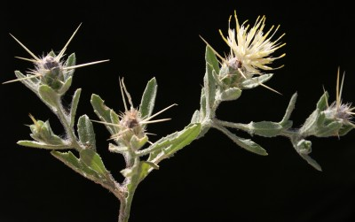 צמחי גלילות מדבריות וערבתיות של הארץ. צבע הפרחים קרם או צהוב.