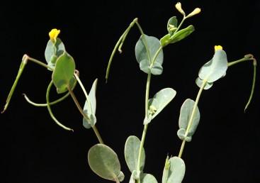 מספר העלעלים 3-1; העלעל שבראש ציר העלה דמוי ביצה וגדול בהרבה מזוג העלעלים האחרים. צמחים מכחילים.