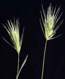 השיבולת מתפרקת בהבשלה; בכל שיבולית יש 2 פרחים, התחתון פורה והעליון עקר.
