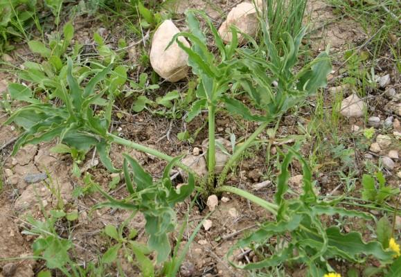 לוליינית מעובה Eminium spiculatum (Blume) Schott