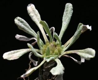 צמחים חסרי גבעול על פי רוב ובעלי