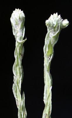 פילגון צמיר Filago eriocephala Guss.
