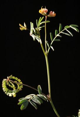 Hippocrepis multisiliquosa L.
