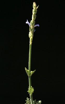 אזוביון שעיר Lavandula pubescens Decne.