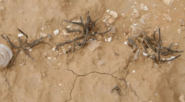 בינית המדבר Leptaleum filifolium (Willd.) DC.