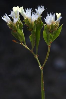 עדעד המדבר Limonium lobatum (L.f.) Chaz.