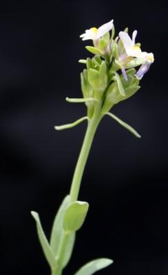 פשתנית מלבינה Linaria albifrons (Sm.) Spreng.