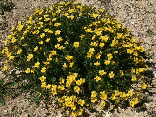 פשתה גדולה Linum mucronatum Bertol.