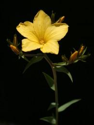 צבע עלי-הכותרת צהוב-כתום; אורכם עולה על 2 ס
