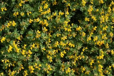 צמחים ירוקים, בעלי ענפים עדינים הגדלים בקרקעות חוליות בקרבת חוף הים.