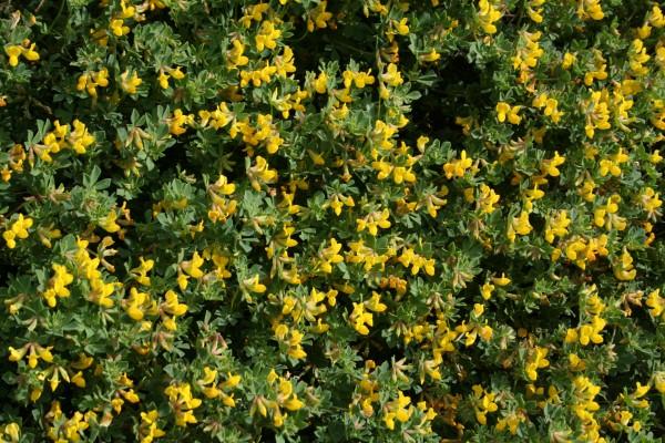 לוטוס קירח Lotus cytisoides L.