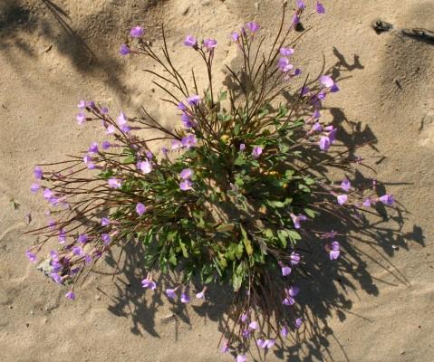 מרסיה יפהפייה Maresia pulchella (DC.) O.E.Schulz