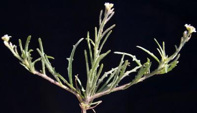 עשבים חד-שנתיים שעירים או מקריחים. התרמיל גלילי ישר (בתמונה הנוכחית).