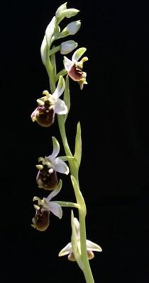 Ophrys bornmuelleri M.Schulze