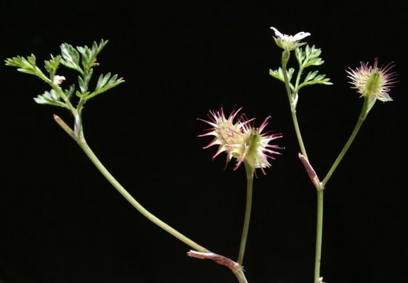 Orlaya daucoides (L.) Greuter