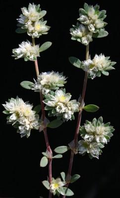 אלמוות הכסף Paronychia argentea Lam.