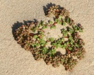 צמחי חול נודד בחוף הים ובמדבר, העלים בשרניים נוטים להיות גליליים. צמחים מאדימים.