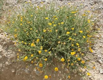 צמחי מדבר שגובהם עד 50 ס