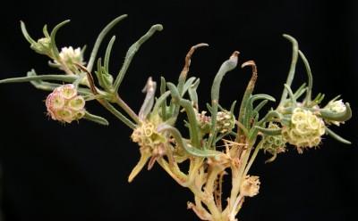 עשבי מדבר חד-שנתיים קטנים, פרחי ההיקף של הקרקפת אינם שונים משאר הפרחים. העלים העליונים ארוכים מעוקצי התפרחת.