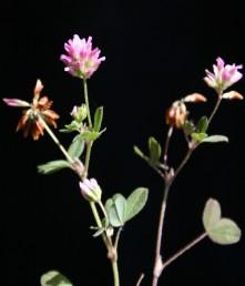 התפרחת כדורית, מרבית הפרחים ורודי כותרת, העליונים מלבינים.