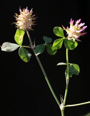 תלתן הקצף Trifolium spumosum L.
